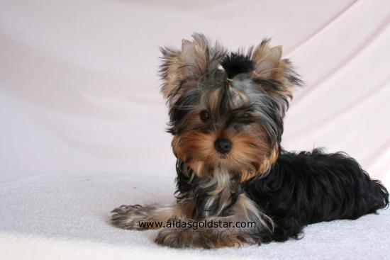 evolu231227o yorkshire terrier portugal aldas goldstar